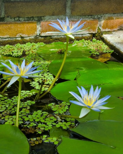 Blue waterlilies